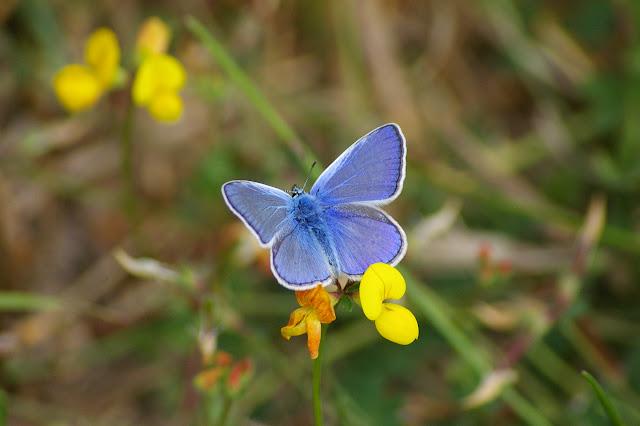 Polyommatus icarus ROTTEMBURG, 1775, mâle. Les Hautes-Lisières, 16 juillet 2009. Photo : J.-M. Gayman