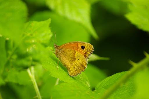 Maniola jurtina LINNAEUS, 1758, femelle, en forêt. Les hautes-Lisières, 26 juin 2009. Photo : J.-M. Gayman