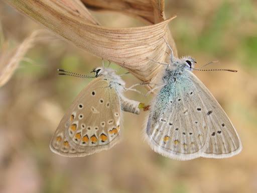 Couple de Polyommatus icarus ROTTEMBURG, 1775, Varzob (35 km nord de Dushanbe), 1505 m, 5.VII.2009, Tadjikistan. Photo : J.-F. Charmeux