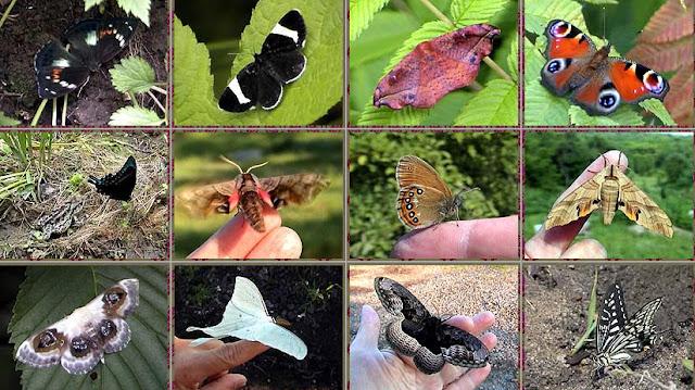 1a : Mimathyma (Chitoria) schrenckii MÉNÉTRIÈS, 1859, female - Monts Sinyi. 1d : Inachis io LINNAEUS, 1758 - Monts Sinyi. 2a : Papilio maackii MÉNÉTRIÈS, 1859 - Monts Sinyi. 2b : Smerinthus caecus MÉNÉTRIÈS, 1857 - Monts Sinyi. 2c : Coenonympha hero LINNAEUS, 1761, femelle - Monts Sinyi. 2d : Sphingidae. 3a : Geometridae Sterrhinae : Problepsis phoebearia ERSCHOV, 1870 ? 3b : Actias artemis BREMER, 1861 - Monts Sinyi. 3c : Brahmaea certhia FABRICIUS, 1793 - Monts Sinyi. 3d : Papilio xuthus LINNAEUS, 1767 - Monts Sinyi. Photos : N. N. Balatskij