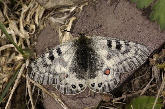 Parnassius (Koramius) delphius namangamus ELWES, 1886. Alabel Pass (3300 m), 28 juin 2006. Photo : E. Zinszner