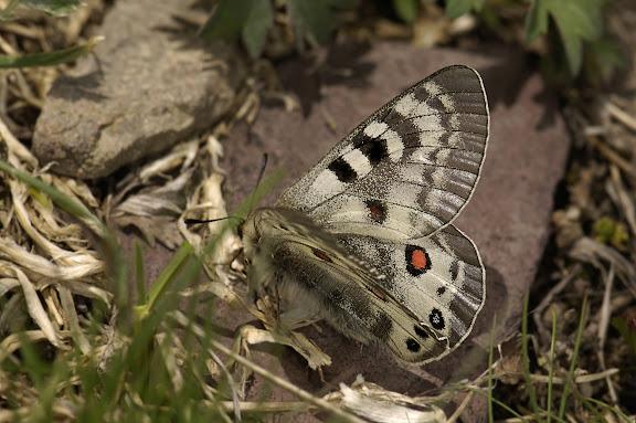 Parnassius (Koramius) delphius namangamus ELWES, 1886. Alabel Pass (3300 m), 28 juin 2006. Photo : B. Lalanne-Cassou