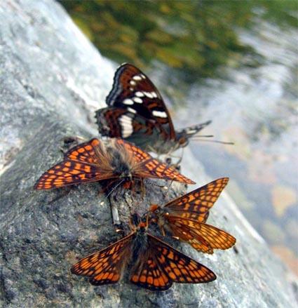 Euphydryas ichnea ichnea BOISDUVAL, 1833 et Limenitis populi ussuriensis STAUDINGER, 1887. Oussouri. Photo : Y. Berezhnoi