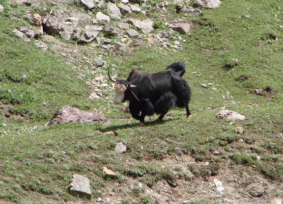 Yak, vallée de Muksu. 10 juillet 2007. Photo : Emmanuel Zinszner