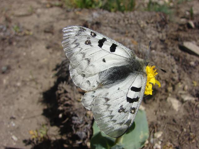 Parnassius (Parnassius) jacquemonti pamirus BANG-HAAS, 1927, mâle. Entre Jawshangoz et Jelondy, Pamir méridional, 19 juillet 2007. Photo : Emmanuel Zinszner