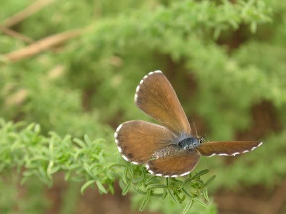 Cyclyrius webbianus BRULLÉ, 1840, femelle, Ténérife, Aguamansa, 1000 m,  6.VIII.2009. Photo : J.-F. Charmeux