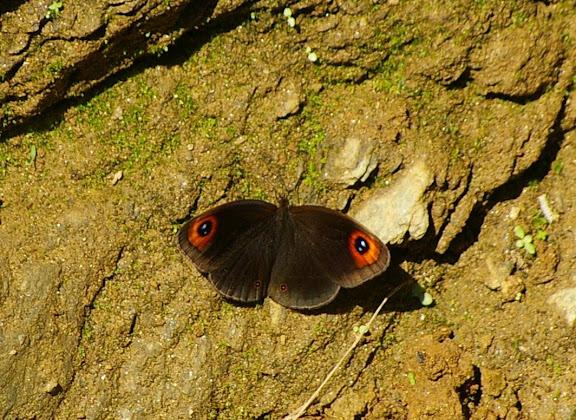Callerebia polyphemus annadina WATKINS, 1927. Cang Shan (2400 m) au-dessus de Xizhou (Yunnan), 6 août 2010. Photo : J.-M. Gayman