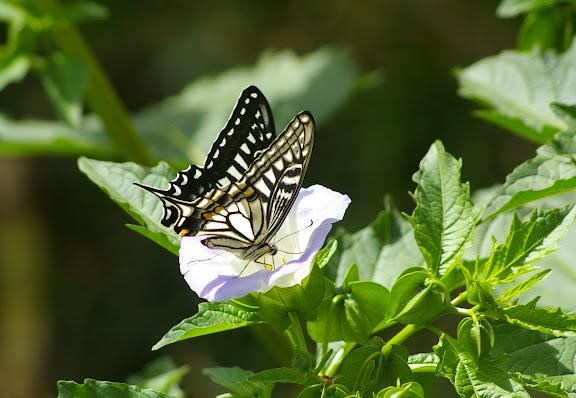 Papilio xuthus LINNAEUS, 1767 (2500 m). Baisha (Nord de Lijiang, Yunnan), 19 août 2010. Photo : J.-M. Gayman