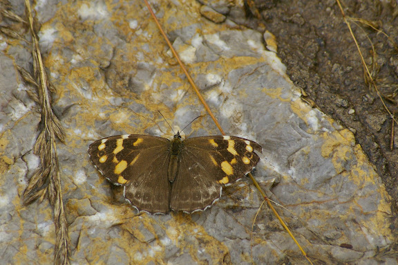 Tatinga thibetanus tonpa YOSHINO, 1998, femelle. Shangri-la (Zhongdian), 3400 m (Yunnan), 23 août 2010. Photo : J.-M. Gayman