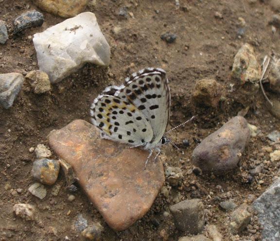 Scolitantides orion PALLAS, 1771. 5 km de Dal'negorsk vers Monomakhovo, 26 juillet 2010. Photo : J. Michel
