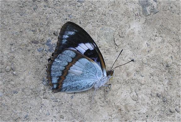 Mimathyma (Chitoria) schrenckii MÉNÉTRIÈS, 1859. 6 km au sud d'Anisimovka, 19 juillet 2010. Photo : J. Michel