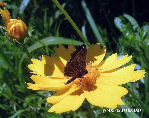 Adelotypa tinea BATES, 1868 (Riodinidae). Foto en Ciudad de Buenos Aires, Facultad de Agronomia Jardin Botanico, noviembre 2009. Carlos Marzano