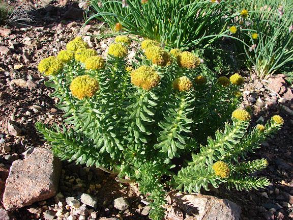 Rhodiola (Crassulacae) sp., plante nourricière des Parnassius du groupe apollo (tianschanicus, actius, jacquemontii). Alabel Pass, 3300 m (Kyrgyzistan), 28 juin 2006. Photo : E. Zinszner