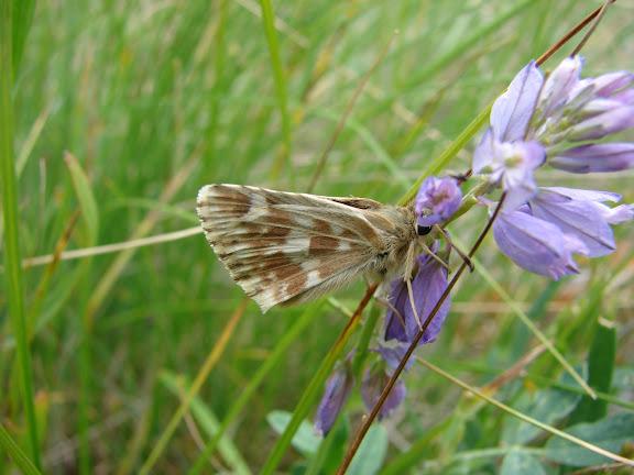 Pyrgus alpinus alpinus ERSCHOFF, 1874 (1900). Kekemeren, 1er juillet 2006. Photo : E. Zinszner