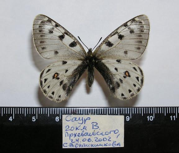 Parnassius (Tadumia) tenedius EVERSMANN, 1851. Chaîne du Tarbagatai-Saur, 20 km Est de Przhevalskoe (Kazakhstan), 24 juin 2002. Coll. et photo : Roman Yakovlev