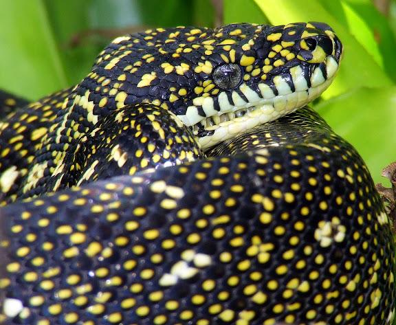 Le python diamantin du jardin à Mount Kuring-gai (NSW, Australie), 14 février 2007. Photo : Barbara Kedzierski