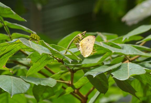 Phoebis sennae marcellina CRAMER, 1779. Pulso (Ubatuba, SP), 11 février 2011. Photo : J.-M. Gayman