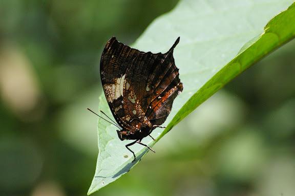 Hypna clytemnestra CRAMER, 1777. Caçandoca (Ubatuba, SP), 23 février 2011. Photo : J.-M. Gayman