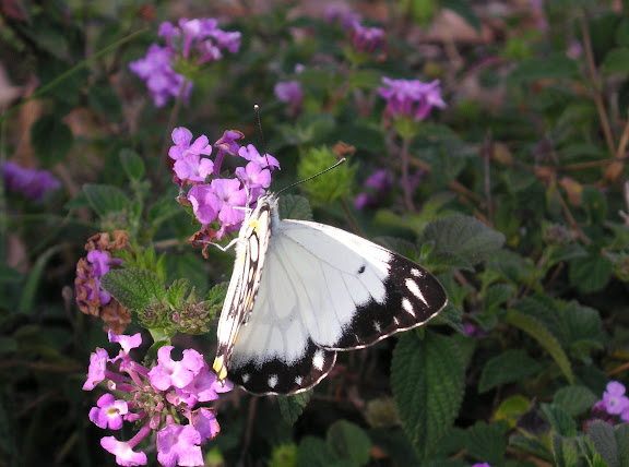 Belenois java teutonia FABRICIUS, 1775 (grand migrateur). Coogee (près de Sydney, NSW), 1er décembre 2004. Photo : J. Michel
