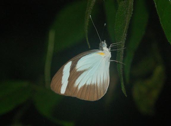 Pierinae : Itaballia demophile demophile L., 1776. Explorer's Inn, Tambopata (Madre de Dios, Pérou), 1er janvier 2011. Photo : Meena