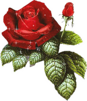rosa-Mena