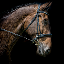 Don ramino by Erik Kunddahl - Animals Horses ( equine, equstrian, horse, cheval, nikon )
