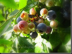 Blueberries 2010 030