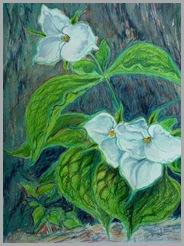 whitetrillium
