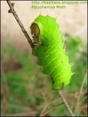 10080603polyphemus_moth