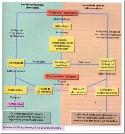 Esquema Simplificado do mecanismo de defesa imunitária