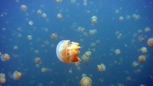 jellyfish lake mastigias papua