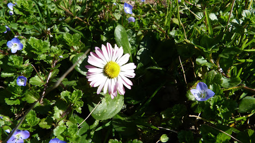 fiori, erba, margherita