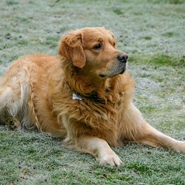 Baggins Dawson by Robert Dawson - Animals - Dogs Portraits ( dogs, baggins, frosty, portrait, golden retriever )