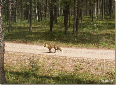 3hRed Fox