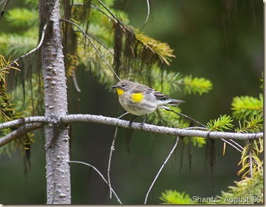 Yellow-rumped Warbler - female