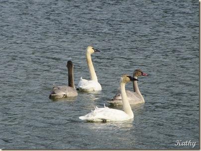 Swans 021