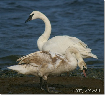 Adult Trumpeter and Juvenile Mute Swan