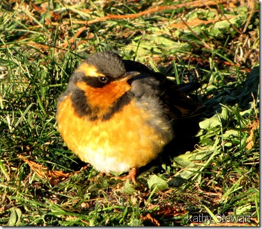 Varied Thrush thawing out