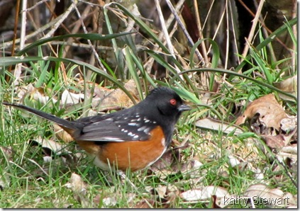 another Towhee