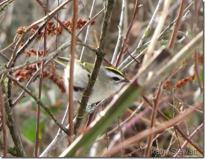 Gold Crowned Kinglet