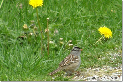 White Crowned Sparrow on path