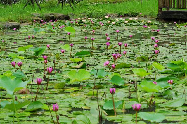 苓蘭荷花池~基隆