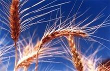 Ayuda al trigo (4 mayo)