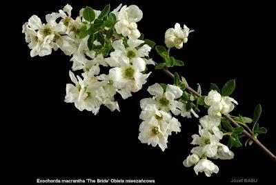 Exochorda macrantha 'The Bride' flower - Obiela mieszańcowa kwiaty