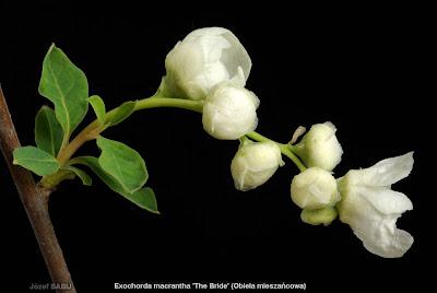 Exochorda macrantha 'The Bride' buds flower - Obiela mieszańcowa pąki kwiatowe