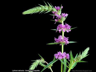 Lythrum salicaria - Krwawnica pospolita