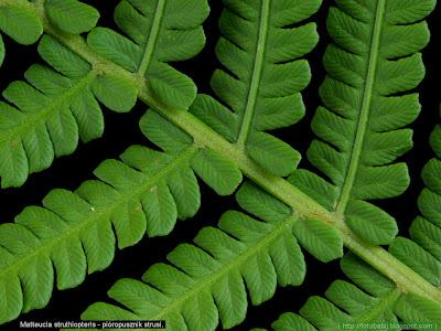 Matteucia struthiopteris leaf - Pióropusznik strusi zbliżenie liścia