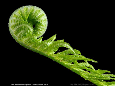 Matteucia struthiopteris young leaf - Pióropusznik strusi młody liść