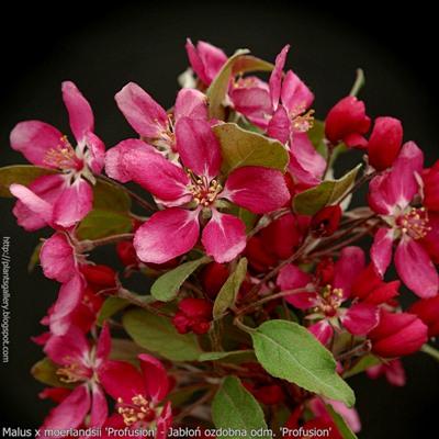 Malus x moerlandsii 'Profusion' flower - Jabłoń ozdobna odm. 'Profusion' kwiaty