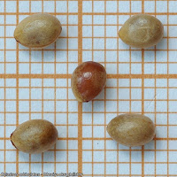 Celastrus orbiculatus seed - Dławisz okrągłolistny nasiona